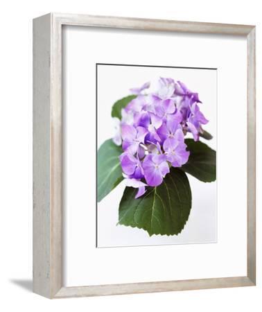 Cluster of Purple Hydrangea Flowers