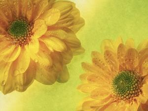 Two Yellow Chrysanthemums by Michelle Garrett