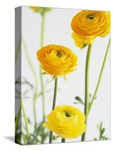 Yellow Ranunculus by Michelle Garrett