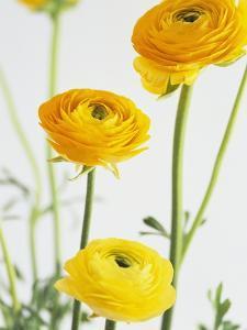 Yellow Ranunculus by Michelle Garrett