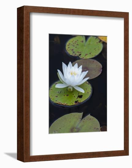 Michigan, Pictured Rock National Lakeshore. White Water Lily Flowering in a Pond-Judith Zimmerman-Framed Photographic Print