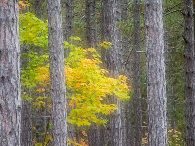 https://imgc.artprintimages.com/img/print/michigan-upper-peninsula-fall-foliage-and-pine-trees-in-the-forest_u-l-pyrhas0.jpg?p=0