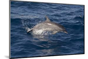 Atlantic Spotted Dolphin (Stenella Frontalis) Breaking from the Sea in a Low Leap, Senegal by Mick Baines