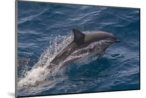 Clymene Dolphin (Stenella Clymene) Porpoising with Water Trailing its Flanks, Offshore Senegal by Mick Baines
