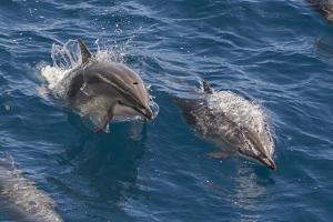 Clymene Dolphin (Stenella Clymene), Senegal, West Africa, Africa by Mick Baines