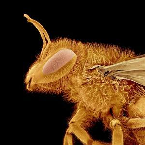 Head of a Bee by Micro Discovery