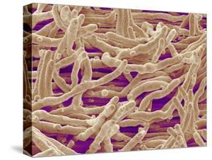 Mycelium of Mushroom by Micro Discovery
