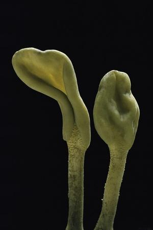https://imgc.artprintimages.com/img/print/microglossum-viride-green-earth-tongue_u-l-pzryrj0.jpg?p=0