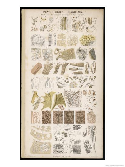 Microscopic Structure of the Texture of Various Parts of the Body-J.s. Cuthbert-Giclee Print