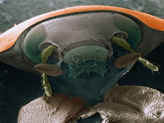 Microscopic View of Ladybug-Jim Zuckerman-Photographic Print