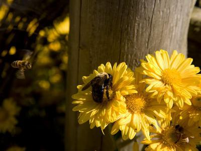 Mid-Air Honeybee Approaches a Bumblebee on a Daisy-Stephen St^ John-Photographic Print