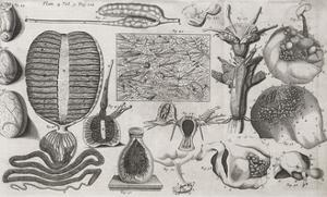Biological Illustrations, 17th Century by Middle Temple Library