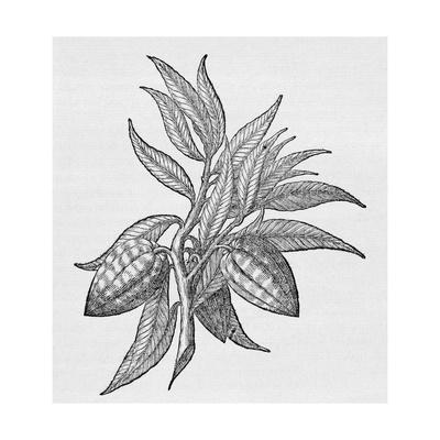 Cacao Fruits (Theobroma Cacao), Woodcut