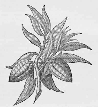 Cacao Fruits (Theobroma Cacao), Woodcut by Middle Temple Library