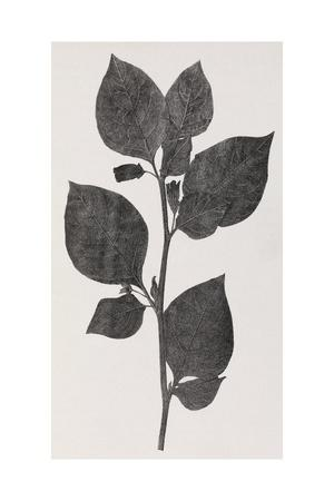 Deadly Nightshade, 19th Century Artwork