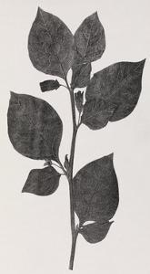 Deadly Nightshade, 19th Century Artwork by Middle Temple Library