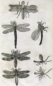 Dragonflies, 17th Century Artwork by Middle Temple Library