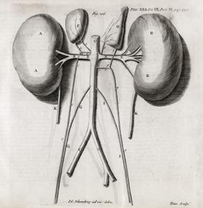 Kidney Anatomy, 18th Century by Middle Temple Library