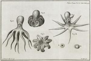 Octopus Anatomy, 18th Century by Middle Temple Library