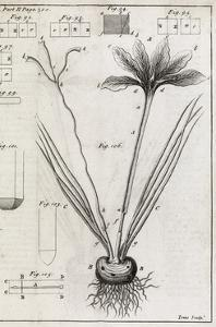 Saffron Plant, 18th Century by Middle Temple Library