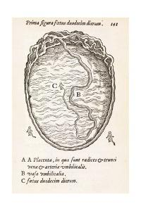 Uterus And Embryo, 16th Century by Middle Temple Library