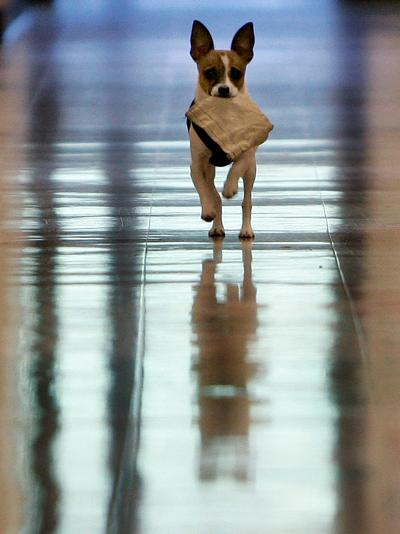Midge Runs Down the Hallway of the Department after Fetching a Bag of Marijuana--Photographic Print