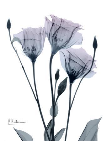 https://imgc.artprintimages.com/img/print/midnight-gentian-1_u-l-q1bc8ek0.jpg?p=0