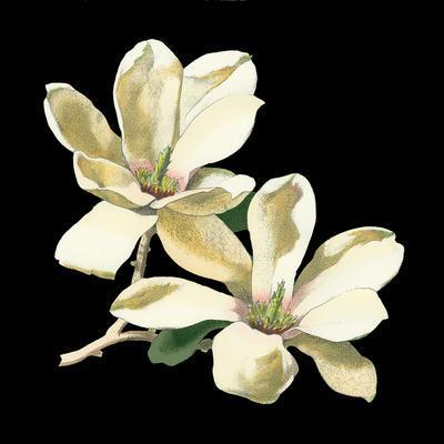 https://imgc.artprintimages.com/img/print/midnight-magnolias-ii_u-l-pxn9i20.jpg?p=0