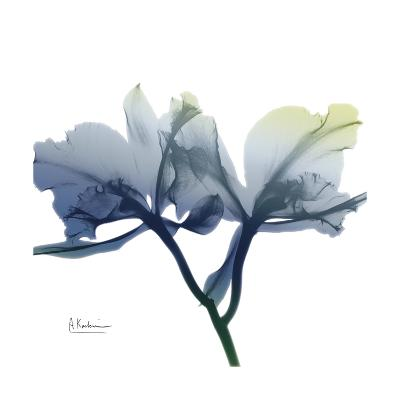 Midnight Orchid-Albert Koetsier-Art Print