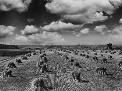 Midwestern Wheat Field at Harvest Time-Bettmann-Photographic Print