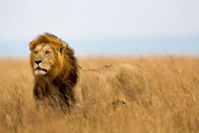 Mighty Lion Watching the Lionesses Who are Ready for the Hunt in Masai Mara, Kenya-Maggy Meyer-Photographic Print