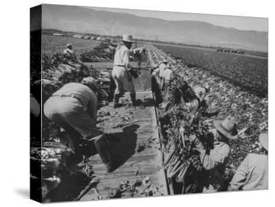 Migrant Farm Workers Picking Celery