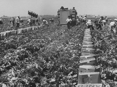 Migrant Farm Workers Picking Lettuce--Photographic Print