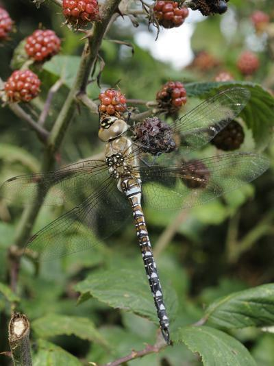 Migrant Hawker Dragonfly Mature Male Resting on Blackberries in Autumn Hedgerow, Norfolk, UK-Gary Smith-Photographic Print