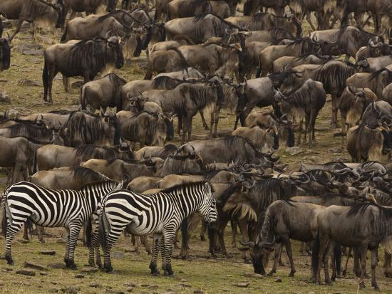 Migrating Burchell's Zebras and Wildebeests-Beverly Joubert-Photographic Print