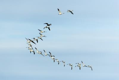 Migrating Flock of Snow Geese, Repulse Bay, Nanavut, Canada-Paul Souders-Photographic Print