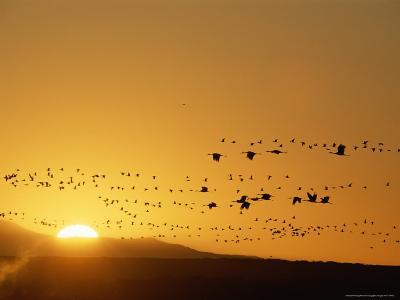 Migrating Snow Geese and Canada Geese at Twilight-Norbert Rosing-Photographic Print