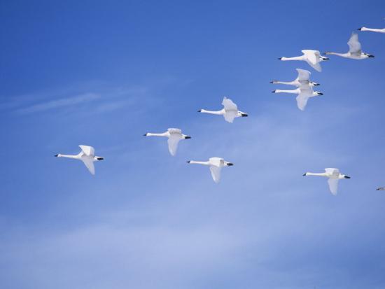 Migrating Tundra Swans, , Cygnus Columbianus-Charles McRae-Photographic Print