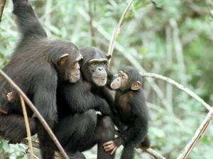 Chimpanzees, Chimp Family, W. Africa by Mike Birkhead