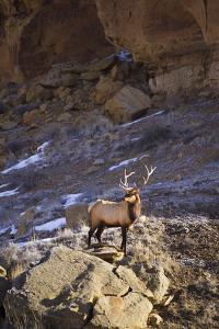 A Bull Elk Climbs On Top Of A Boulder In Chaco Culture National Historic Park, New Mexico by Mike Cavaroc