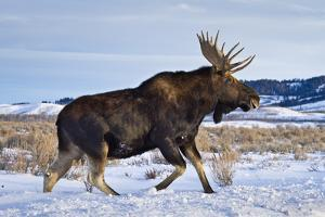 A Bull Moose Walks in a Snow-Covered Antelope Flats in Grand Teton National Park, Wyoming by Mike Cavaroc
