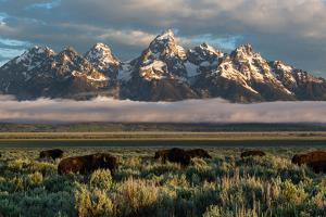 A Small Herd Of Bison Grazing Below The Teton Mountains In Jackson Hole. Grand Teton NP, Wyoming by Mike Cavaroc