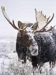 Bull Moose Covered in Snow-Mike Cavaroc-Photographic Print