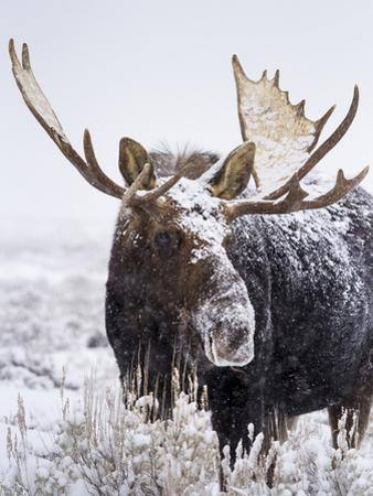 Bull Moose Covered in Snow by Mike Cavaroc