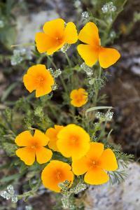 California Poppy Wildflowers Blooming In The Sonoran Desert, Arizona by Mike Cavaroc