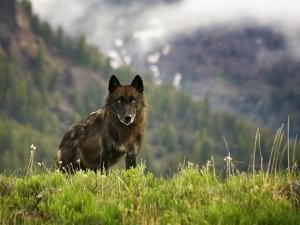 Canyon Pack Alpha Female Wolf of 2009 by Mike Cavaroc