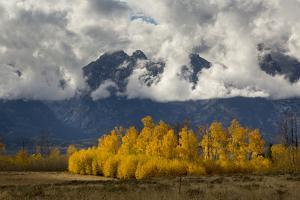 Fall Aspen Trees Decorating Jackson Hole, Grand Teton National Park, Wyoming by Mike Cavaroc