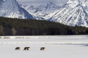 Grizzly Bear #610 of Grand Teton National Park Walks Along the Icy Waters of Oxbow Bend, Wyoming by Mike Cavaroc