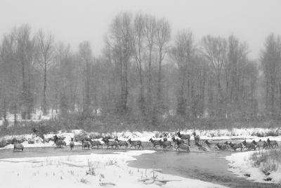 Herd Of Elk Migrate Across Gros Ventre River During Snow Storm, Crossing From Grand Teton NP