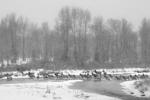 Herd Of Elk Migrate Across Gros Ventre River During Snow Storm, Crossing From Grand Teton NP by Mike Cavaroc